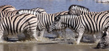 EQUID - ZEBRA - BURCHELL'S ZEBRA - ETOSHA NATIONAL PARK NAMIBIA (16).JPG