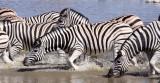 EQUID - ZEBRA - BURCHELL'S ZEBRA - ETOSHA NATIONAL PARK NAMIBIA (18).JPG