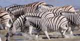 EQUID - ZEBRA - BURCHELL'S ZEBRA - ETOSHA NATIONAL PARK NAMIBIA (22).JPG