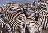 EQUID - ZEBRA - BURCHELL'S ZEBRA - ETOSHA NATIONAL PARK NAMIBIA (33).JPG
