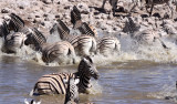 EQUID - ZEBRA - BURCHELL'S ZEBRA - ETOSHA NATIONAL PARK NAMIBIA (39).JPG