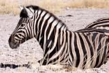 EQUID - ZEBRA - BURCHELL'S ZEBRA - ETOSHA NATIONAL PARK NAMIBIA (4).JPG