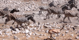 EQUID - ZEBRA - BURCHELL'S ZEBRA - ETOSHA NATIONAL PARK NAMIBIA (50).JPG