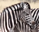 EQUID - ZEBRA - BURCHELL'S ZEBRA - ETOSHA NATIONAL PARK NAMIBIA (6).JPG