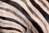 EQUID - ZEBRA - BURCHELL'S ZEBRA - ETOSHA NATIONAL PARK NAMIBIA (71).JPG