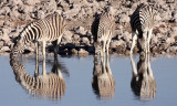 EQUID - ZEBRA - BURCHELL'S ZEBRA - ETOSHA NATIONAL PARK NAMIBIA (73).JPG