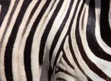 EQUID - ZEBRA - BURCHELL'S ZEBRA - ETOSHA NATIONAL PARK NAMIBIA (74).JPG