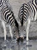 EQUID - ZEBRA - BURCHELL'S ZEBRA - IMFOLOZI NATIONAL PARK SOUTH AFRICA (10).JPG