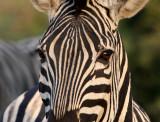 EQUID - ZEBRA - BURCHELL'S ZEBRA - IMFOLOZI NATIONAL PARK SOUTH AFRICA (13).JPG
