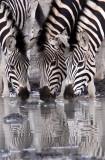 EQUID - ZEBRA - BURCHELL'S ZEBRA - IMFOLOZI NATIONAL PARK SOUTH AFRICA (17).JPG