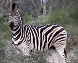 EQUID - ZEBRA - BURCHELL'S ZEBRA - IMFOLOZI NATIONAL PARK SOUTH AFRICA (29).JPG
