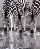 EQUID - ZEBRA - BURCHELL'S ZEBRA - IMFOLOZI NATIONAL PARK SOUTH AFRICA (34).JPG
