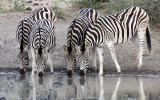 EQUID - ZEBRA - BURCHELL'S ZEBRA - IMFOLOZI NATIONAL PARK SOUTH AFRICA (7).JPG