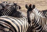 EQUID - ZEBRA - BURCHELL'S ZEBRA - KRUGER NATIONAL PARK SOUTH AFRICA (7).JPG