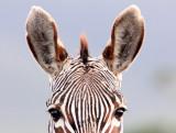 EQUID - ZEBRA - MOUNTAIN ZEBRA - CAPE MOUNTAIN ZEBRA - DE HOOP RESERVE SOUTH AFRICA (10).JPG