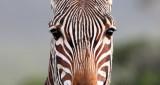 EQUID - ZEBRA - MOUNTAIN ZEBRA - CAPE MOUNTAIN ZEBRA - DE HOOP RESERVE SOUTH AFRICA (13).JPG