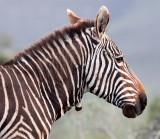 EQUID - ZEBRA - MOUNTAIN ZEBRA - CAPE MOUNTAIN ZEBRA - DE HOOP RESERVE SOUTH AFRICA (19).JPG