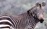 EQUID - ZEBRA - MOUNTAIN ZEBRA - CAPE MOUNTAIN ZEBRA - DE HOOP RESERVE SOUTH AFRICA (22).JPG