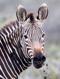 EQUID - ZEBRA - MOUNTAIN ZEBRA - CAPE MOUNTAIN ZEBRA - DE HOOP RESERVE SOUTH AFRICA (23).JPG