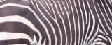 EQUID - ZEBRA - MOUNTAIN ZEBRA - CAPE MOUNTAIN ZEBRA - DE HOOP RESERVE SOUTH AFRICA (25).JPG