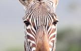 EQUID - ZEBRA - MOUNTAIN ZEBRA - CAPE MOUNTAIN ZEBRA - DE HOOP RESERVE SOUTH AFRICA (3).JPG