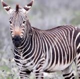EQUID - ZEBRA - MOUNTAIN ZEBRA - CAPE MOUNTAIN ZEBRA - DE HOOP RESERVE SOUTH AFRICA (34).JPG