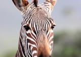 EQUID - ZEBRA - MOUNTAIN ZEBRA - CAPE MOUNTAIN ZEBRA - DE HOOP RESERVE SOUTH AFRICA (4).JPG