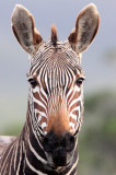 EQUID - ZEBRA - MOUNTAIN ZEBRA - CAPE MOUNTAIN ZEBRA - DE HOOP RESERVE SOUTH AFRICA (7).JPG