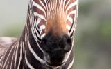 EQUID - ZEBRA - MOUNTAIN ZEBRA - CAPE MOUNTAIN ZEBRA - DE HOOP RESERVE SOUTH AFRICA (8).JPG