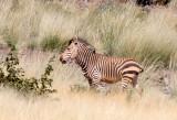 EQUID - ZEBRA - MOUNTAIN ZEBRA - HARTMANN'S MOUNTAIN ZEBRA - DAMARALAND NAMIBIA (17).JPG