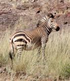 EQUID - ZEBRA - MOUNTAIN ZEBRA - HARTMANN'S MOUNTAIN ZEBRA - DAMARALAND NAMIBIA (20).JPG