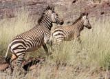 EQUID - ZEBRA - MOUNTAIN ZEBRA - HARTMANN'S MOUNTAIN ZEBRA - DAMARALAND NAMIBIA (26).JPG
