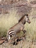 EQUID - ZEBRA - MOUNTAIN ZEBRA - HARTMANN'S MOUNTAIN ZEBRA - DAMARALAND NAMIBIA (30).JPG