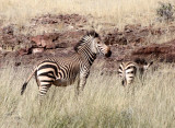 EQUID - ZEBRA - MOUNTAIN ZEBRA - HARTMANN'S MOUNTAIN ZEBRA - DAMARALAND, NAMIBIA (6).JPG