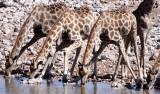 GIRAFFE - ANGOLAN GIRAFFE - ETOSHA NATIONAL PARK NAMIBIA (19).JPG