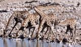 GIRAFFE - ANGOLAN GIRAFFE - ETOSHA NATIONAL PARK NAMIBIA (21).JPG
