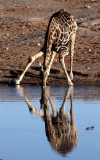 GIRAFFE - ANGOLAN GIRAFFE - ETOSHA NATIONAL PARK NAMIBIA (7).JPG