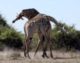 GIRAFFE - ANGOLAN GIRAFFE - FIGHTING IN CHOBE - CHOBE NATIONAL PARK BOTSWANA (11).JPG