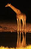 GIRAFFE - ANGOLAN GIRAFFE - NIGHT AT WATERHOLE - ETOSHA NATIONAL PARK NAMIBIA (3).JPG