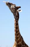 GIRAFFE - ANGOLAN GIRAFFE - SUCKING ON A BONE - ETOSHA NATIONAL PARK NAMIBIA (3).JPG