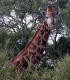 GIRAFFE - SOUTHERN AFRICAN GIRAFFE - IMFOLOZI NATIONAL PARK SOUTH AFRICA (2).JPG