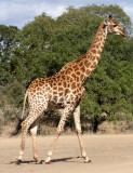 GIRAFFE - SOUTHERN AFRICAN GIRAFFE - KRUGER NATIONAL PARK SOUTH AFRICA (21).JPG