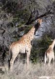 GIRAFFE - SOUTHERN AFRICAN GIRAFFE - MOREMI RESERVE BOTSWANA (4).JPG