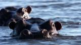 HIPPO - CHOBE NATIONAL PARK BOTSWANA (28).JPG