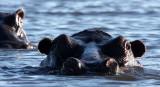 HIPPO - CHOBE NATIONAL PARK BOTSWANA (3).JPG
