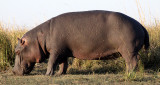 HIPPO - GRAZING THE BANKS OF THE CHOBE - CHOBE NATIONAL PARK BOTSWANA (4).JPG
