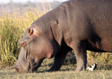 HIPPO - GRAZING THE BANKS OF THE CHOBE - CHOBE NATIONAL PARK BOTSWANA (9).JPG