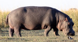 HIPPO - GRAZING THE BANKS OF THE CHOBE - CHOBE NATIONAL PARK BOTSWANA.JPG