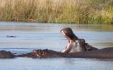 HIPPO - KHWAI CAMP OKAVANGO BOTSWANA (26).JPG