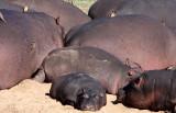 HIPPO - KRUGER NATIONAL PARK SOUTH AFRICA (11).JPG